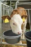 Calf in a box Royalty Free Stock Photos