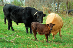 Calf with Bull and Cow. Cow, bull and calf on the farm Stock Image