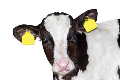 Calf bull isolated on white background.  Stock Image