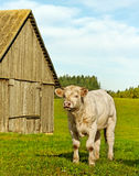 Calf at the byre. Royalty Free Stock Photography