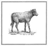 Calf chart. An old calf chart with numbered cuts vector illustration
