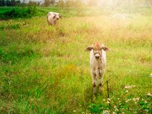 Calf child cow and  mother cow Stay alerted. Calf child cow with mother cow Stay alerted Stock Photography