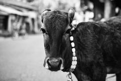 The calf on a city street Stock Photography