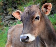 Calf close up Royalty Free Stock Photography