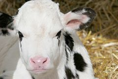 Calf closeup Royalty Free Stock Photography