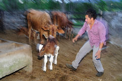 Calf- Colombia Stock Photos