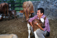 Calf- Colombia. Milking cows in RIVERA . Department of Huila. COLOMBIA royalty free stock photography