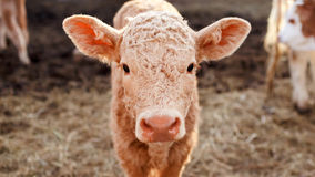 Calf in a corral close up. Stock Image