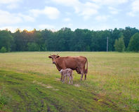 Calf and cow. Feeding on green grass against summer landscape Royalty Free Stock Photography