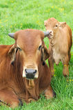Calf and cow. A brown calf and its mother Stock Photo