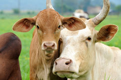 Calf and cow Stock Photography