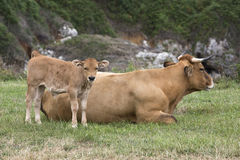 Calf and cow Asturian race. Royalty Free Stock Images