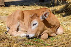 Calf cow in farm Royalty Free Stock Images