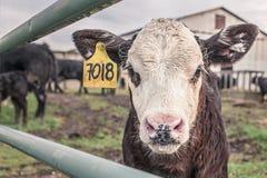 Calf, Cow, Maverick, Farm Animal Stock Photos