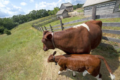 Calf and Cow on Old Rustic Wisconsin Dairy Farm Royalty Free Stock Photo