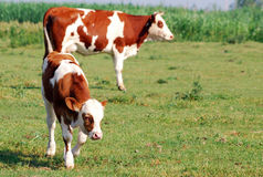Calf and cow on pasture Stock Images