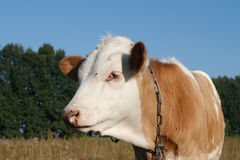 Calf cow in profile Royalty Free Stock Photo