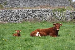 Calf and Cow Stock Photo