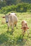Calf and cow. Stock Photos