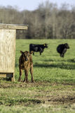 Calf with cows in background - vertical Stock Image