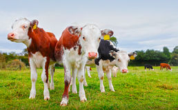 Calf cows. Calf / young inquisitive cows in pasture Stock Photos