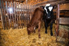 Calf in the cowshed. In dairy farm Royalty Free Stock Photography