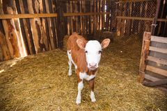 Calf in the cowshed. In dairy farm Stock Images