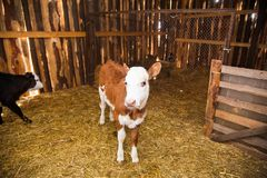 Calf in the cowshed. In dairy farm Royalty Free Stock Image