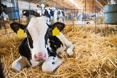 Calf in the cowshed. In dairy farm Royalty Free Stock Photo