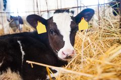 Calf in the cowshed. In dairy farm royalty free stock photos