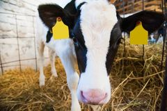 Calf in the cowshed Stock Photos