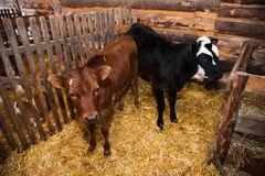 Calf in the cowshed Royalty Free Stock Photo