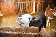 Calf in the cowshed Stock Photography