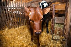 Calf in the cowshed Stock Photo