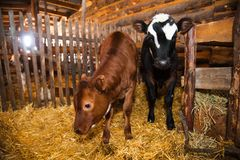Calf in the cowshed Royalty Free Stock Photos