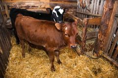 Calf in the cowshed Royalty Free Stock Image