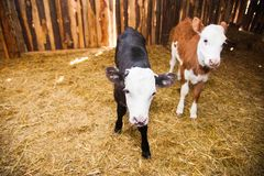 Calf in the cowshed. In dairy farm Stock Photo
