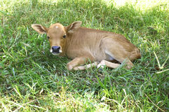 Calf Royalty Free Stock Photography