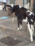 Cruelty shown by tying a calf to a streetside drain mumbai. A calf crying for calf tied cruelty stock images