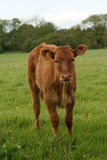 Calf curiosity. Calf is inquisitive to what is happening Stock Photo