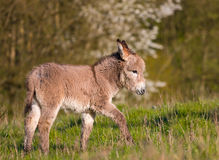 Calf of a donkey. Donkey calf walking in a field stock photography