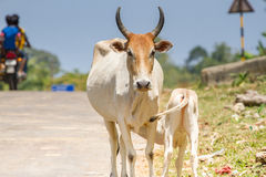 Calf drinking milk from acow. Cow a sacred animal Royalty Free Stock Photos