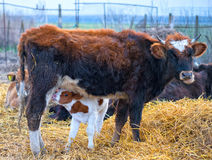 Calf is drinking milk at mother cow Stock Image
