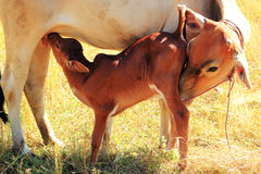 Calf drinking milk. From udder Stock Image