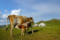 Calf drinks milk from his mother Stock Photos
