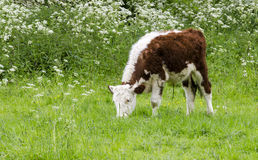 A calf eating in the fields Stock Images