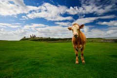Calf. Eating grass on the field on a background of the castle Royalty Free Stock Image