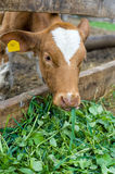 Calf eating green rich fodder Royalty Free Stock Photos