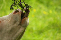 Calf eating a tree branch. A calf eating a tree branch Royalty Free Stock Photography