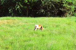 Calf eats food on meadow Stock Image